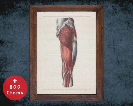 Anatomy art, THIGH MUSCLE KNEE, medical student gift, osteopaths and osteopathy, doctor office decor