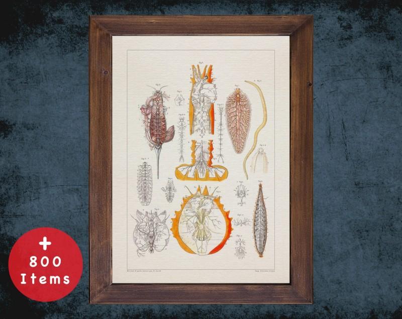 Anatomy art, LOBSTER NERVOUS SYSTEM, medical student gift, Veterinary and vet, doctor office decor