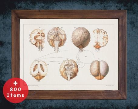 Anatomy art, EARLESS SEAL BRAIN, medical student gift, Veterinary and vet, doctor office decor