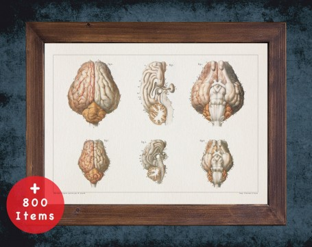 Anatomy art, SHEEP BRAIN CORTEX, medical student gift, Veterinary and vet, doctor office decor