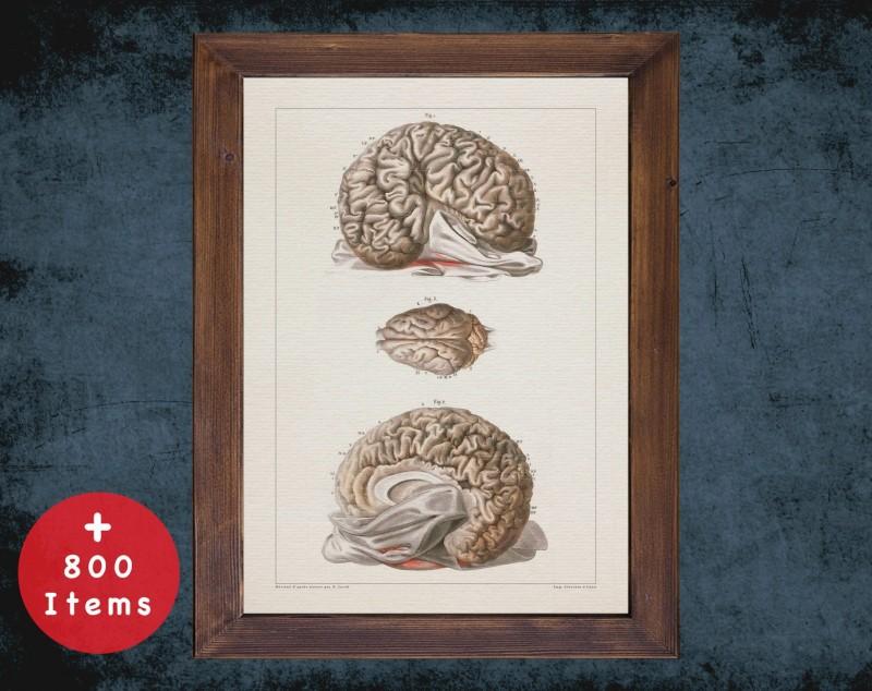 Anatomy art, ELEPHANT BRAIN CORTEX, medical student gift, Veterinary and vet, doctor office decor