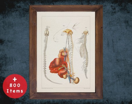 Anatomy art, RABBIT BRAIN ORGANS, medical student gift, Veterinary and vet, doctor office decor