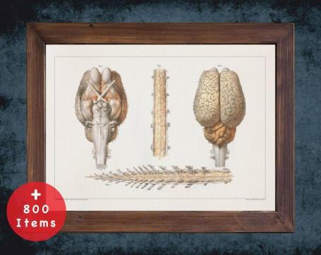 Anatomy art, HORSE BRAIN SPINE, medical student gift, Veterinary and vet, doctor office decor
