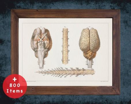 Anatomy art, HORSE BRAIN SPINE, medical student gift, Veterinary and vet, doctor office decor