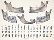anatomy-art-teeth-mandible-root-medical-